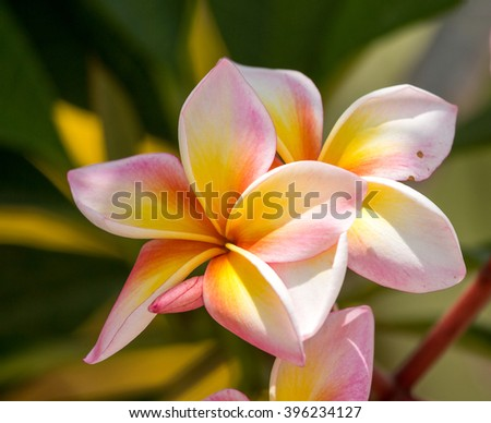 group of yellow white and pink flowers (Frangipani, Plumeria) on a sunny day with natural background in THAILAND