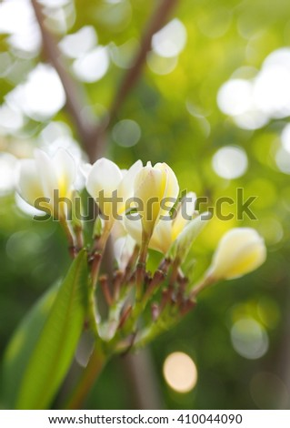 group of yellow white flowers of Frangipani, Plumeria, Templetree exotic aroma smell BALI style spa flowers on a sunny day with natural bokeh background in THAILAND - stock photo