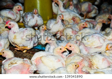 Group of young chicken on the  local farm, Thailand.