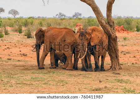 Group of young elephants covered in black mud trying to survive the heat in the savannah in the tsavo east national park.