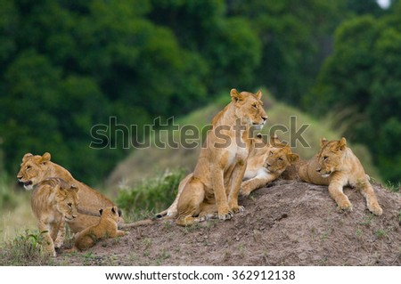 Group of young lions on the hill. National Park. Kenya. Tanzania. Masai Mara. Serengeti. An excellent illustration. - stock photo