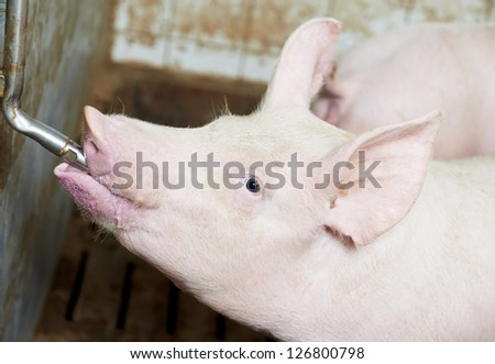 group of young piglet drinking water at pig breeding farm - stock photo