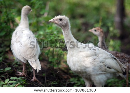 Group of young turkey - stock photo