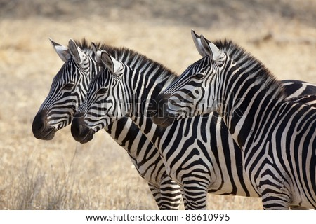 group of 3 zebras all facing the same direction