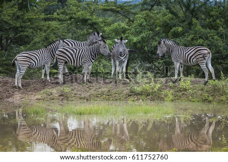 group of zebras at the water south africa national park