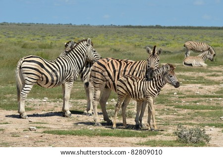group of zebras with young one in Etosha park in Namibia - stock photo