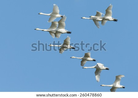 Group whooper swans heading to the north in flight - stock photo