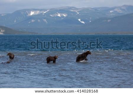 Group wild bears catch fish. Kamchatka. Russia. - stock photo