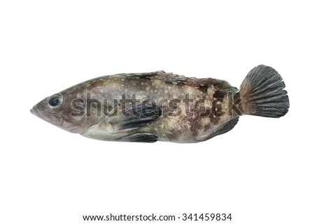 Grouper Fish isolated on white, Fish is cooking and Expensive. - stock photo