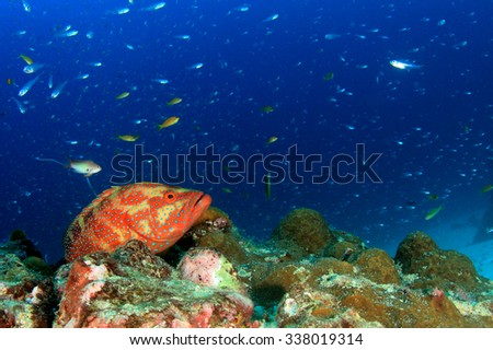 Grouper fish on coral reef underwater - stock photo