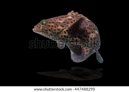 grouper fish swimming feeling on black background/Arabian grouper, Greasy grouper/Epinephelus tauvina/Serranidae /grouper fish isolated on black background/fish market popular  - stock photo