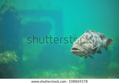 Grouper in aquarium. - stock photo