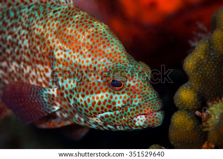 Grouper on the Corporal Meiss dive site, Bonaire, Netherlands Antilles - stock photo