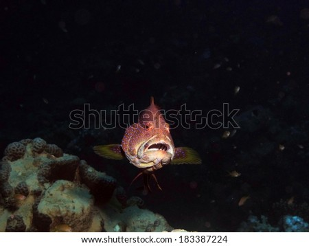 Grouper opening mouth and gills to get cleaned - stock photo
