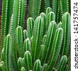 Groups of green cactus budding. - stock photo