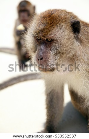 Groups of macaques monkeys looking for food on the sandy beach of the Phi Phi island-Thailand