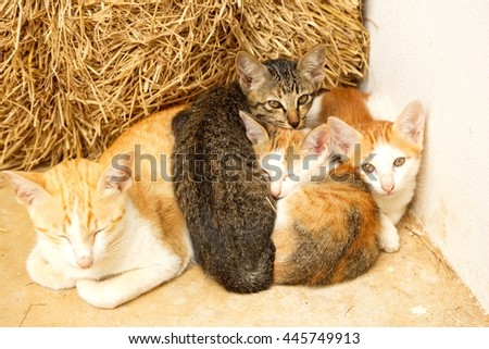 Groups of Thai Cat sleeping together