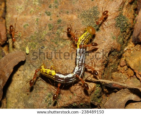 groups red ants attacking a worm in nature thailand - stock photo