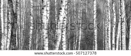 Grove of birch trees in early autumn, fall panorama