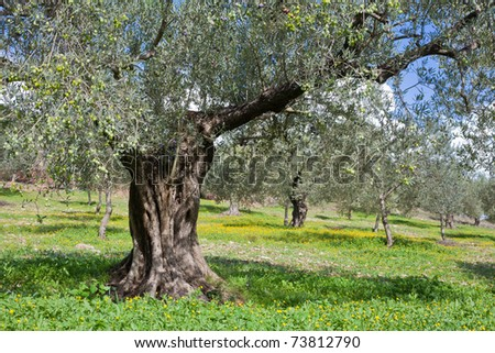 Grove of olive trees (Olea europaea) with cover of yellow booming floers on the ground. - stock photo