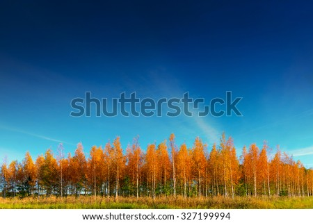 Grove of young birch trees on blue sky in autumn - stock photo