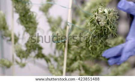 Grower Examines Buds of Mature Marijuana Plants at Indoor Cannabis Farm  - stock photo