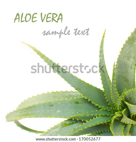 growing aloe vera plant isolated on white background