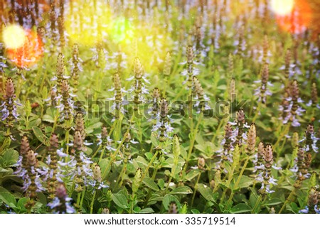 Growing and Blooming Lavender outdoors - stock photo