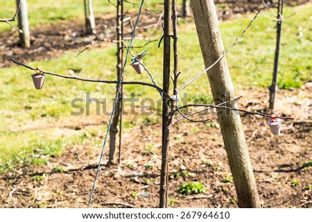Growing apples in the orchard with weights applied in order for the branches to grow low on the ground - stock photo