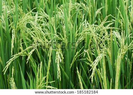Growing asian rice and green grass field - stock photo