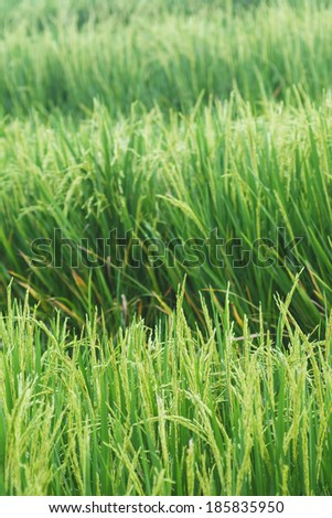 Growing asian rice and green grass field background - stock photo