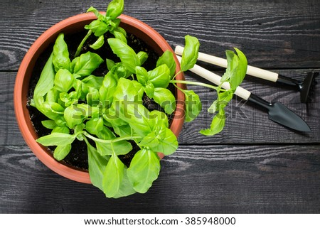 Growing basil in a flowerpot at home. Garden tools for pot plants: shovel and rake - stock photo