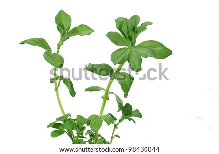 growing broad bean on white background - stock photo