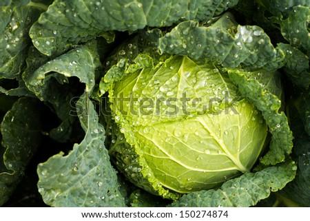 Growing cabbage in organic vegetable garden. - stock photo
