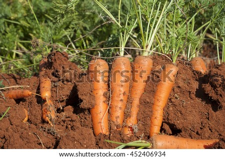 Growing carrots - stock photo