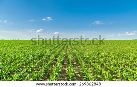 Growing corn field, green agricultural landscape - stock photo