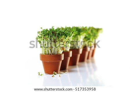 growing cress in clay pot on white background