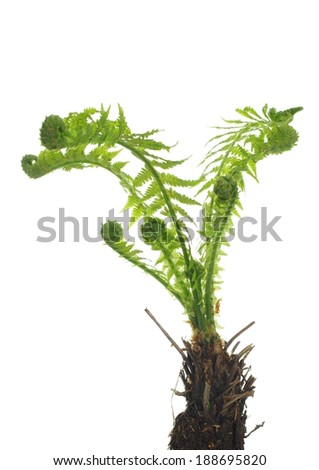 growing  fern on white background - stock photo