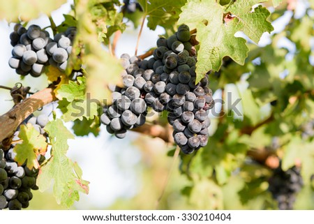 Growing fresh grapes harvest in autumn. Soft shallow depth of field - stock photo