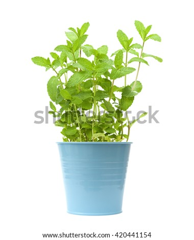 growing garden  mint plants isolted on white