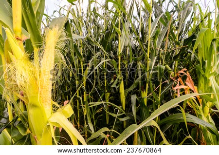 Growing Green Corn Field Culture in North Italy