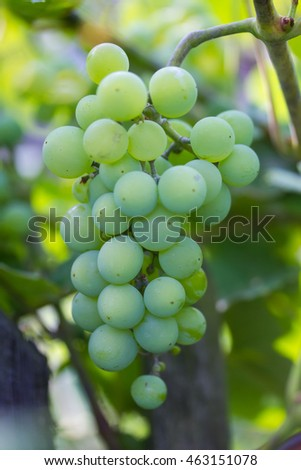 Growing green grapes