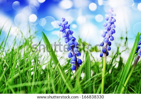 Growing hyacinth flower in  green grass under blue sky - stock photo