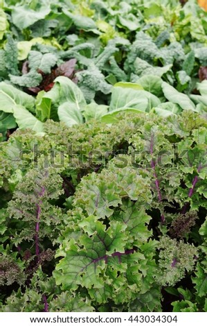 Growing kale and cabbage in the vegetable garden