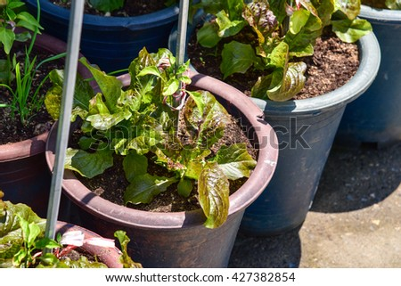 Growing Lettuce in a Pot