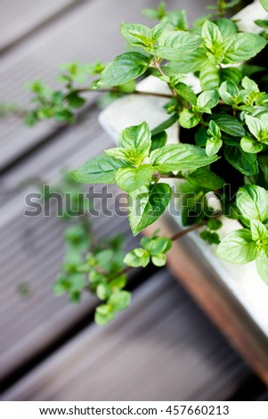 Growing mint in home garden