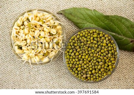 Growing mung bean sprouts. Mung bean sprouts and mung bean dry. - stock photo