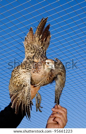 growing of birds.poultry farm.bird Coturnix coturnix - stock photo