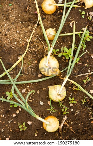 Growing onions in organic vegetable garden. - stock photo