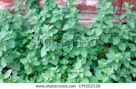 Growing oregano - stock photo